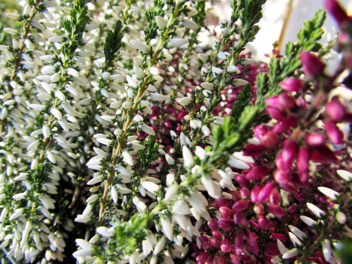 White heather is a rare lucky find