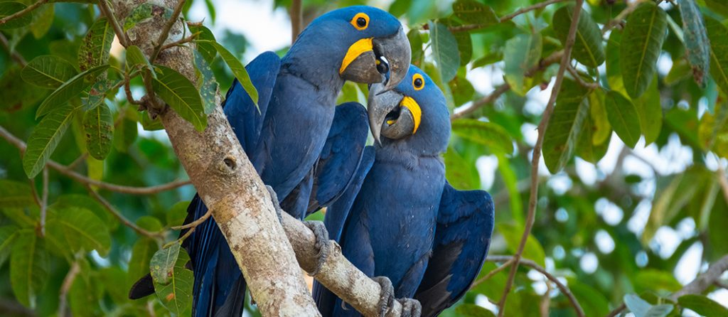 Most expensive pets – Hyacinth Macaw