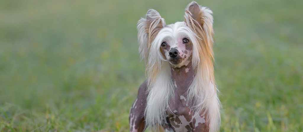 Most expensive pets – Chinese Crested dog