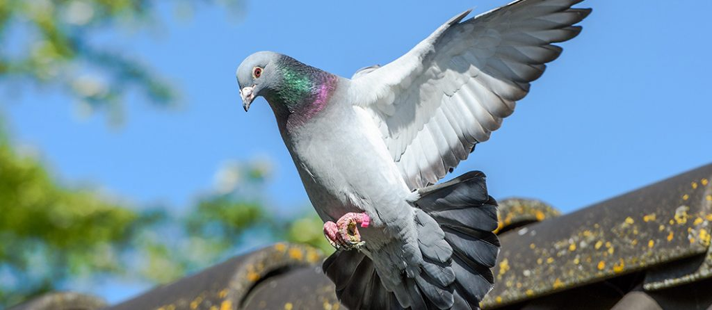 Most expensive pets – Racing Pigeons